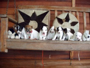 Pratsals Puppies and Litters yorkie poo puppies for sale