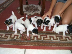 Pratsals Puppies and Litters lhasa apso puppies for sale