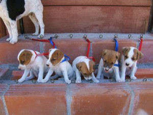 Pratsals Puppies and Litters boston terrier puppies for sale