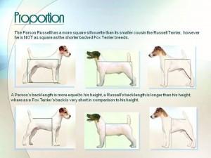 Parson Russell Terrier Litter Born March 6 2014