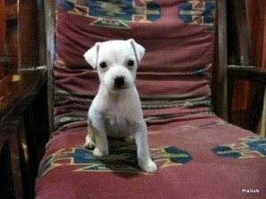 Pratsals Puppies and Litters teacup puppies for sale