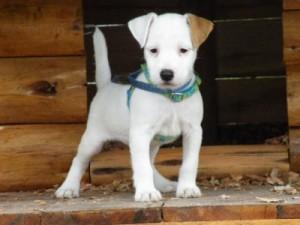 Pratsals Puppies and Litters miniature bull terrier