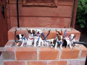 Pratsals Puppies and Litters bichon frise puppies