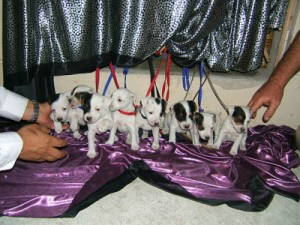 Pratsals Puppies and Litters border terrier puppies