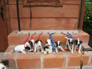 Pratsals Puppies and Litters puppys for sale