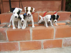 Pratsals Puppies and Litters pitbull puppies
