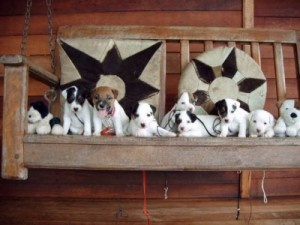 Pratsals Puppies and Litters west highland terrier