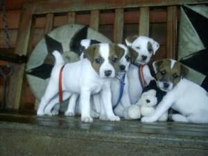 Pratsals Puppies and Litters english bulldog puppies