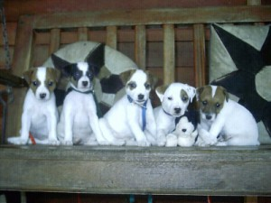 Pratsals Puppies and Litters siberian husky puppies