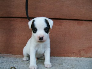 Pratsals Puppies and Litters miniature jack russells for sale