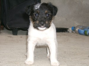 Pratsals Puppies and Litters scottish terrier puppies for sale