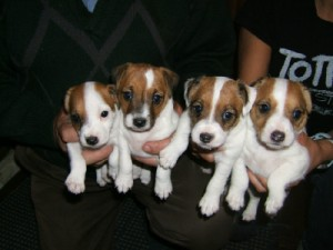Pratsals Puppies and Litters maltipoo puppies for sale