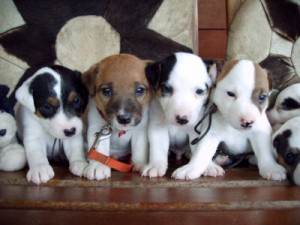 Pratsals Puppies and Litters english bulldog puppies for sale
