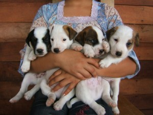 Pratsals Puppies and Litters bull terrier puppies