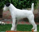 russell terriers