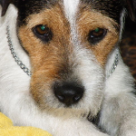HOW TO GROOM A PARSON/ RUSSELL HEAD jack russells for sale