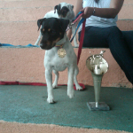 akc jack russell