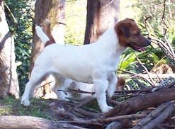 Russell Terrier Ancestors