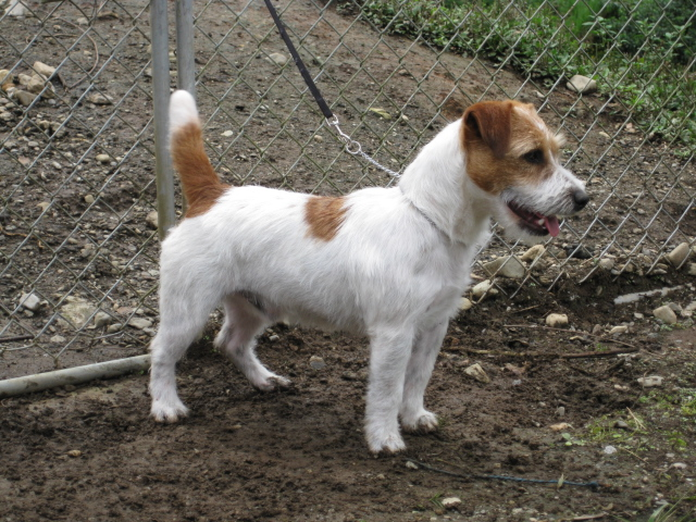 FCI Jack Russell (AKC Russell) Terriers