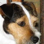 jack russells for sale
