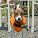 rough coat jack russell