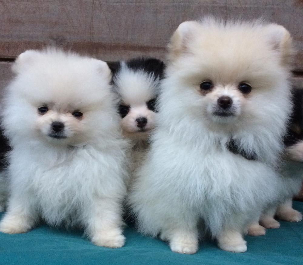 Pratsals Pomeranian Russell Terriers